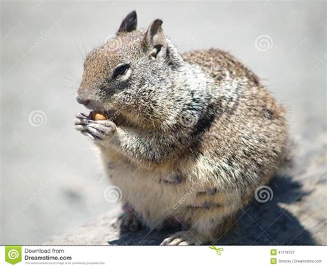 Squirrel California Coast Stock Image Image Of Animal