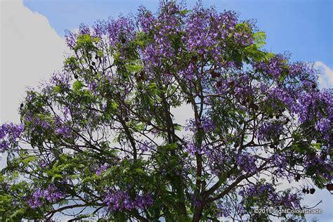 summer flowering trees light colour shade summer colours flowering trees the blue jacaranda jacaranda mimosifolia