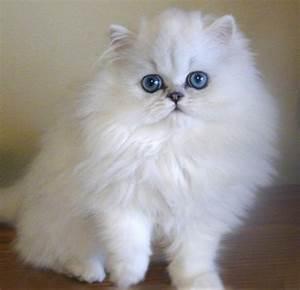 Gatos Persas. MundoGatos.com