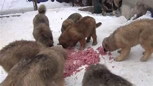 Russian Caucasian Mountain Dog Attack   www.pixshark.com ...