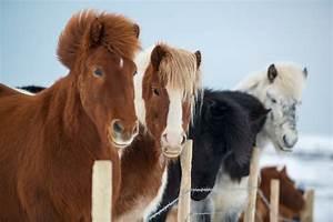 The Distinctive Characteristics Of The Icelandic Horse