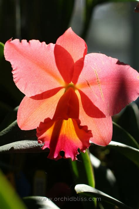 orchids temperature just for you tips to re bloom orchids orchid bliss
