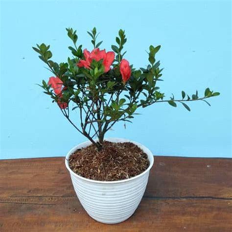 beli disini azalea bunga orange berkualitas ibad garden