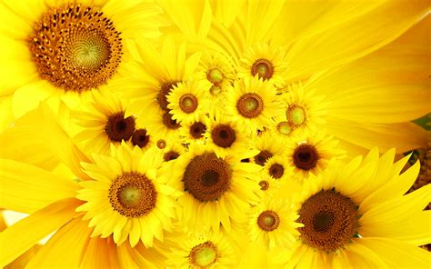 Cool Sunflowers Wallpapers | Wallpapers HD