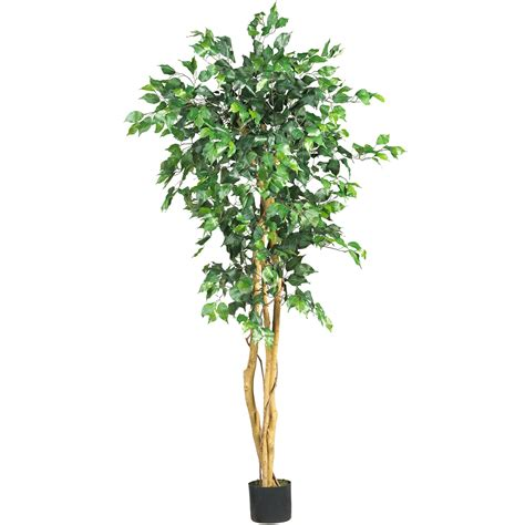 5 ficus tree potted 5208