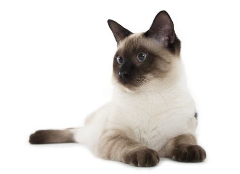 do flame point siamese cats shed