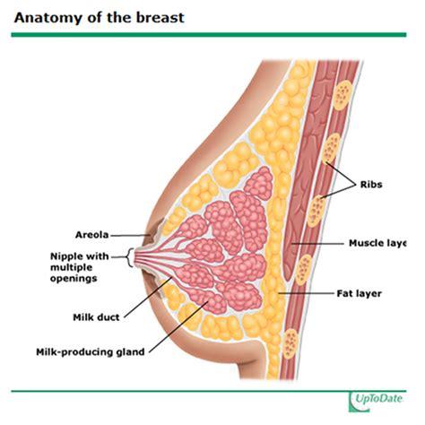Diagram Of Breast 28 Images Breast Anatomy Diagram