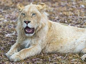 Roaring Lion Wallpaper | 2017 - 2018 Best Cars Reviews