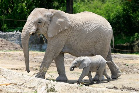 Nace Primer Elefante Africano En Puebla