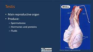 Bull Reproductive Anatomy