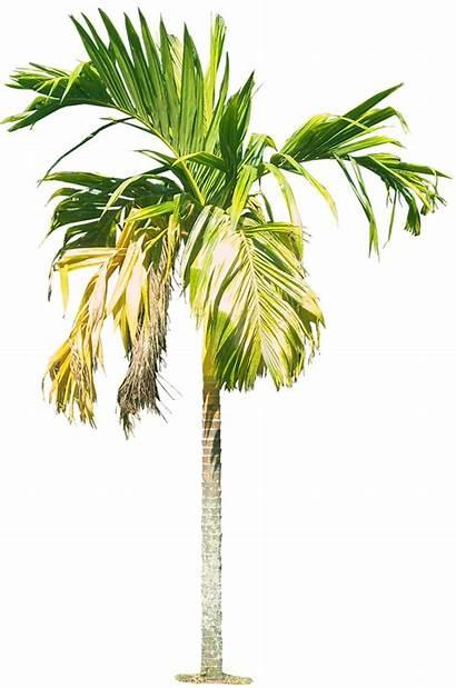 Palm Tree Areca Catechu Clipart Arecanut Tropical