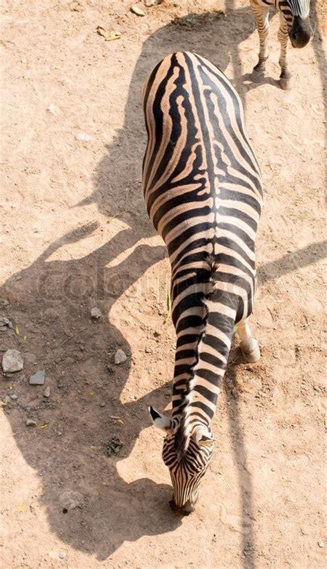 zebra top view khao kheow open zoo  thailand stock
