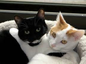 black and white cats file black white cats jpg
