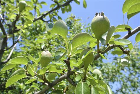 Pear Tree Fruit Thinning  When And How To Thin Pear Fruit