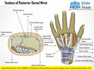 Tendons Of The Posterior  Dorsal  Wrist Medical Images For