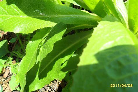 young lactuca id request wild lettuce opium