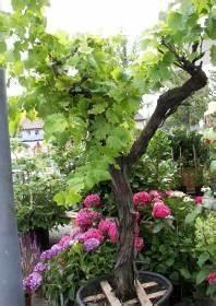 Winterharte Kübelpflanzen Schattig : vier sommergr ne winterharte k belpflanzen auch f r ~ Michelbontemps.com Haus und Dekorationen