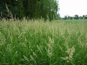 Reed Canary Grass (Phalaris arundinaces): Management Guide ...