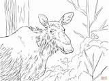 Moose Coloring Eastern Elk Printable Deer Drawing Deers Supercoloring Dot Popular Skip Categories sketch template