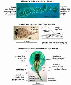 Functional Anatomy Of Electric Ray