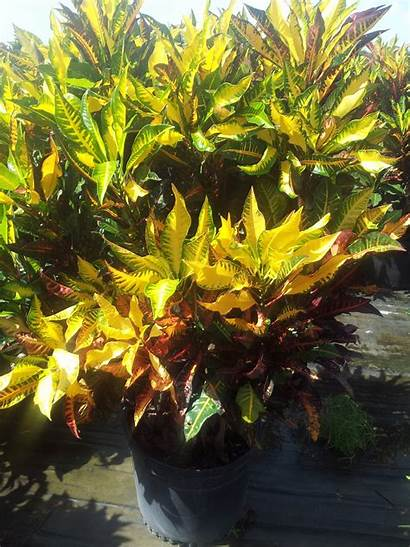 Croton Fantasy Plants Plant Fanatsy Variegatum Codiaeum