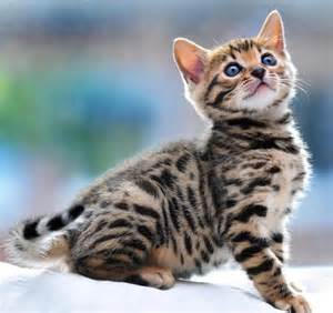 hypoallergenic cats top 6 hypoallergenic cats allergy asthma allergy