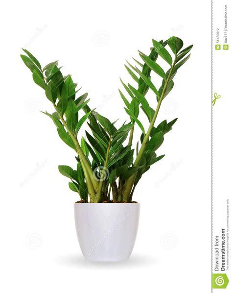 vaso per pianta pianta da appartamento zamioculcas una pianta in vaso