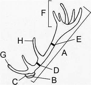 Deer Antler Drawing At Getdrawings