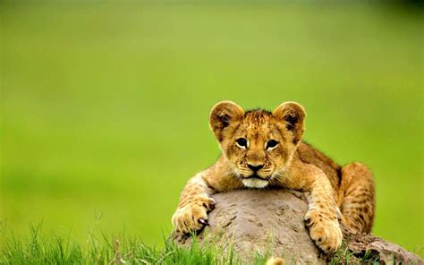 Baby Lion Wallpaper For Desktop, Laptop And Mobile In High