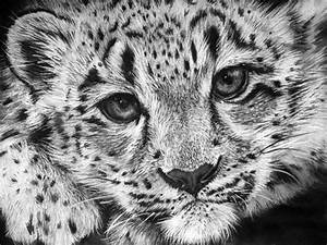 Baby Snow Leopard Drawing by Sharlena Wood