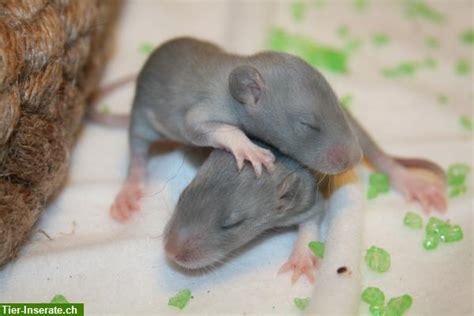 was fressen ratten gerne was fressen ratten gerne ratten biologie der ratte ratten