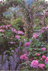 Beautiful Garden Rose