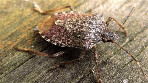 stink bugs bug them dangerous most restart