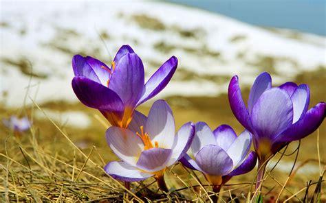 crocus pictures wallpapers purple crocus flowers wallpapers