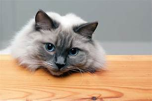 what are cats ragdoll cat breed profile
