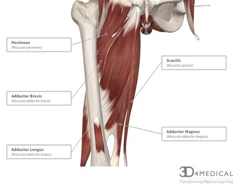 muscles advanced anatomy  ed