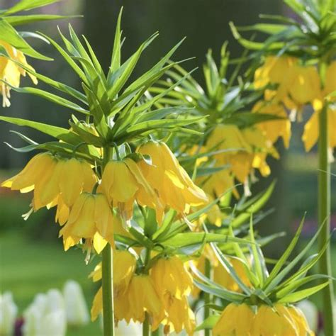 crown imperial fritillaria from bulbs to blooms