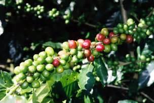 Coffee Bean Plants On coffee plant