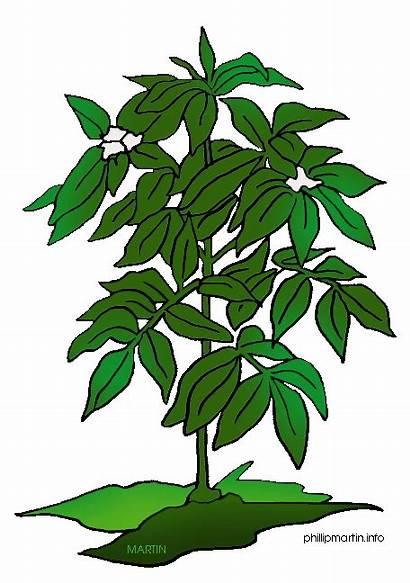 Plant Clipart Clip Coffee Science Plants Flower