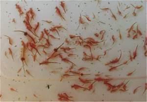 Was Fressen Molche Im Gartenteich : aquakultur genzel gmbh kleine artemiakunde artemia auf mallorca ~ Orissabook.com Haus und Dekorationen
