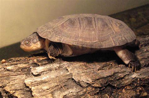 sideneck turtle pet turtle space turtle watercolor graphic art pet tortoise t shirt special offer not