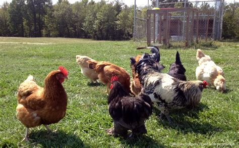 Quarantine Of Backyard Chickens When And How The