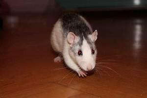 Wie Vertreibt Man Ratten : pro und contra ratten erfahrungen tipps und empfehlung ~ Eleganceandgraceweddings.com Haus und Dekorationen