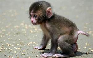 Baby Monkey Wallpapers images