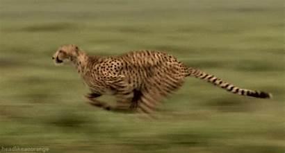 Running Giphy Gifs Cat Cheetah Animal Fast