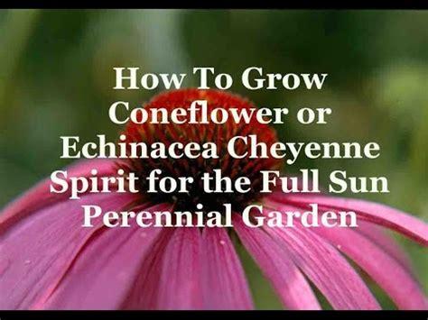 how to grow coneflowers how to grow coneflower or echinacea cheyenne spirit for the full sun perennial garden youtube