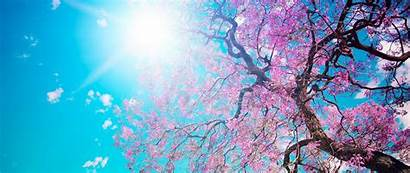 Cherry Blossom Tree Wallpapers Resolution Trees Spring
