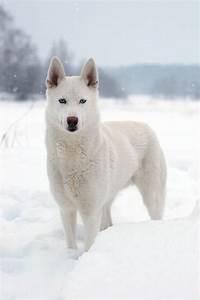 White Husky. Dog Lover? | Siberian Husky | Pinterest ...
