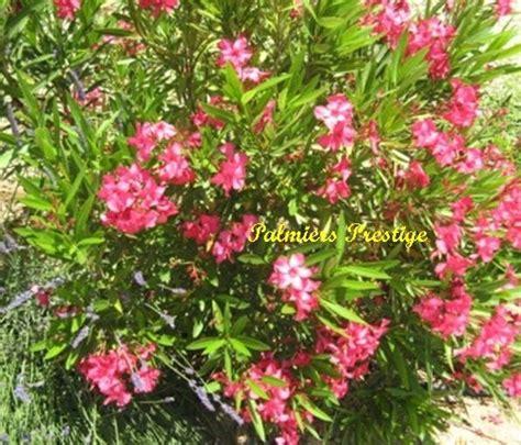 taille des lauriers roses en pot plantes vivaces et arbustes originaux aux feuillages persistants fleuris pour jardins terrasses
