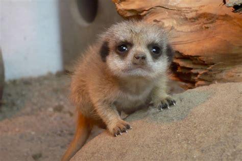 adorable baby meerkat   put